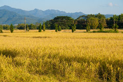 Landwirtschaftslandschaftsansicht des Reisfeldes Stockbilder