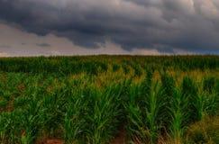 Landwirtschaftsmais/Maisfeld und Wolken, bewölkter Himmel, Maisanlage Lizenzfreie Stockbilder