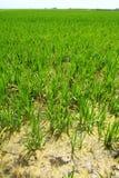 Landwirtschaftsreis-Feldperspektive Spanien Valencia stockfoto
