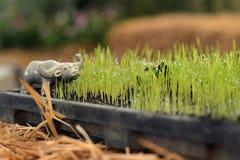 Landwirtschaftsreis und -büffel Lizenzfreie Stockfotografie