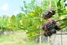 Landwirtschaftstechnik, verpflanzend auf Zitrusfruchtniederlassung stockbild