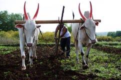 Landwirtschaftsund pflügendes Feld mit Ochsen stockfoto