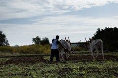 Landwirtschaftsund pflügendes Feld mit Ochsen lizenzfreies stockfoto