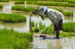 Landwirtverfahrens-ungeschälter Reis im Ackerland Lizenzfreies Stockfoto