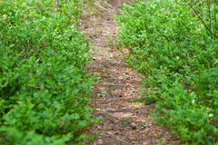 Lane across bilberry bush. Royalty Free Stock Images