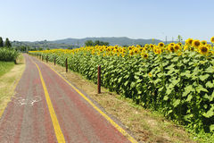 Lane for bicycles and sunflowers in Tuscany Stock Image