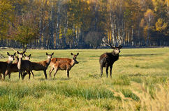 Lane and deer grazing near the forest Stock Photos
