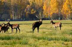 Lane and deer grazing near the forest Stock Images