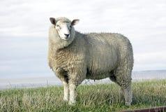 lane delle pecore Fotografia Stock Libera da Diritti