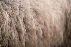 Lane delle pecore bianche Allevamento degli animali Fotografia Stock Libera da Diritti