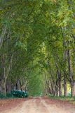 Lane lined by plane trees Stock Image