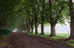 Lane lined by plane trees to form tunnel royalty free stock photography