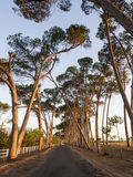 Lane with old trees in sunset light, Stellenbosch, Western Cape, Royalty Free Stock Images