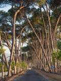 Lane with old trees in sunset light, Stellenbosch, Western Cape, Stock Photography