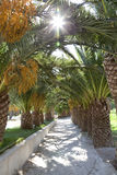 Lane with palmtrees Royalty Free Stock Photography