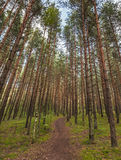 Lane in the pine tree forest Royalty Free Stock Images