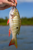Lane Snapper head, eye, tail and jaw details Stock Photography