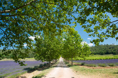 Lane with trees in Lavender field in France Stock Photo