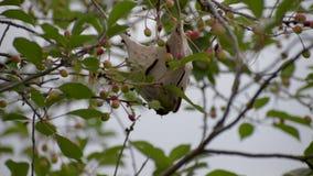 Lanestris de Eriogaster As lagartas vivem nos ninhos aderindo-se que penduram na extremidade dos ramos video estoque