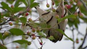 Lanestris de Eriogaster As lagartas vivem nos ninhos aderindo-se que penduram na extremidade dos ramos filme
