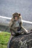 Lang-angebundener Macaque Stockbild