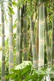 Lang bamboe Royalty-vrije Stock Afbeeldingen