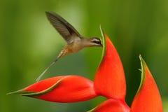 Lang-berechneter Einsiedler, Phaethornis-longirostris, seltener Kolibri von Belize Fliegenvogel mit roter Blume Szene der Aktions lizenzfreie stockbilder