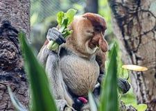 Lang-besnuffelde aap, of kahau Nasalis larvatus Uitsluitend verdeeld op het Eiland Borneo royalty-vrije stock afbeeldingen
