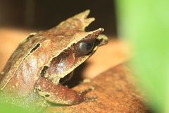 Lang-besnuffelde gehoornde kikker royalty-vrije stock foto's