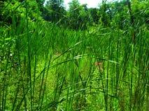 Lang Cattails en Gras in het Moerasland Royalty-vrije Stock Afbeeldingen