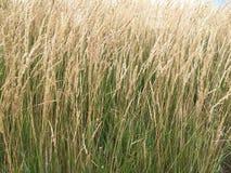 Lang decoratief gras Stock Afbeelding