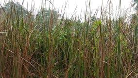 Lang droog gras op gebied Royalty-vrije Stock Afbeeldingen