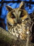 Lang-eared Owl Asio-otus stock foto's