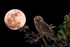 Lang-eared Owl Asio-otusjongere Royalty-vrije Stock Afbeelding