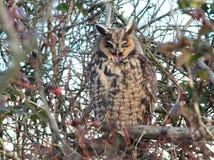 Lang-eared Owl Yawning Stock Afbeeldingen