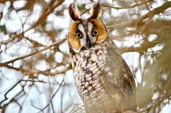 Lang-eared Uil in de wildernis stock afbeeldingen