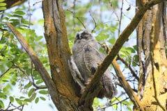 Lang-eared Uil (otus Asio) Royalty-vrije Stock Fotografie