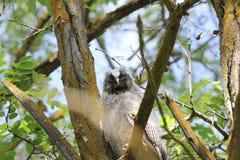 Lang-eared Uil (otus Asio) Royalty-vrije Stock Foto's