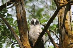 Lang-eared Uil (otus Asio) Royalty-vrije Stock Foto
