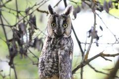 Lang-eared Uil (otus Asio) Stock Foto's