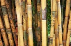 Lang geel bamboe Royalty-vrije Stock Foto