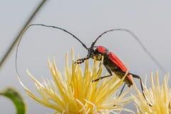 Lang-gehörnter Käfer Stockfoto