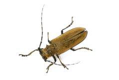 Lang-gehörnter Käfer auf Weiß Stockfotografie