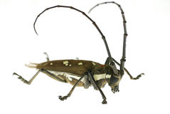 Lang-gehörnter Käfer im Weiß Lizenzfreie Stockfotos