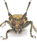 Lang-gehörntes Käfergesicht Lizenzfreie Stockfotos
