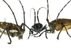 Lang-gehörntes Käfertreffen Stockfotografie