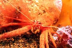Lang-gekrabde Hurkende Zeekreeft Stock Afbeelding
