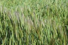 Lang gezaaid wild gras die in een wind blazen stock video