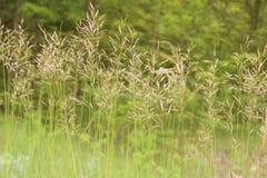 Lang Gras stock foto