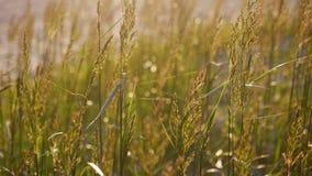 Lang gras dat in de zonsondergang slingert stock video